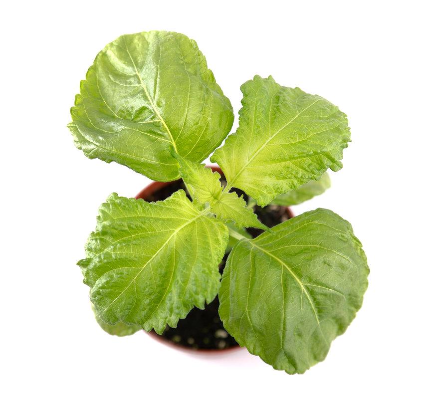 Shiso groen
