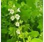 White Shiso Flower