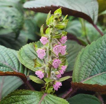 Dutch Wasabi Roze Shiso bloemen