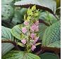 Roze Shiso bloemen