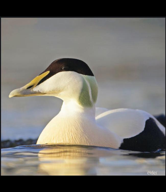 Really Wild Cards | Wenskaart met Geluid  | Birds | Eidereend