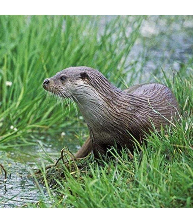 Really Wild Cards | Wenskaart met Geluid  | Hidden Nature | Otter