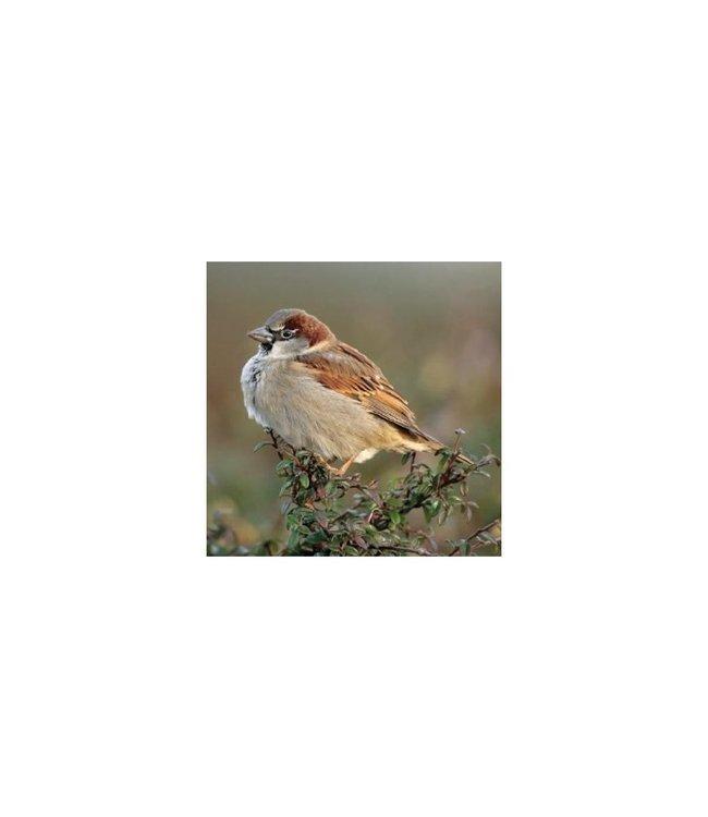 Really Wild Cards   Wenskaart met Geluid    Birds   Huismus