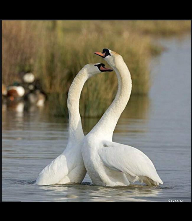 Really Wild Cards   Wenskaart met Geluid    Birds   Zwaan
