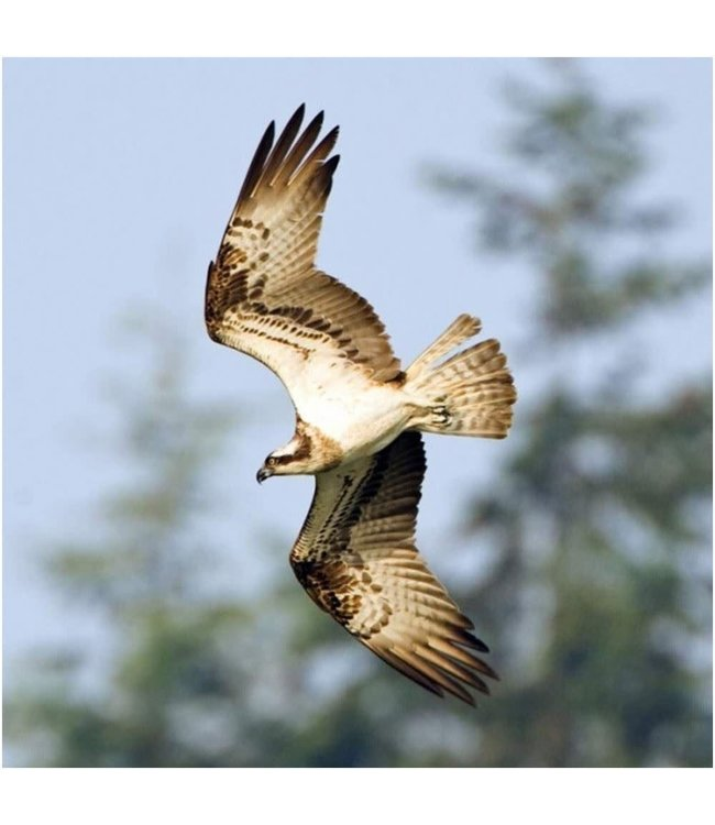 Really Wild Cards | Wenskaart met Geluid  | Birds | Visarend