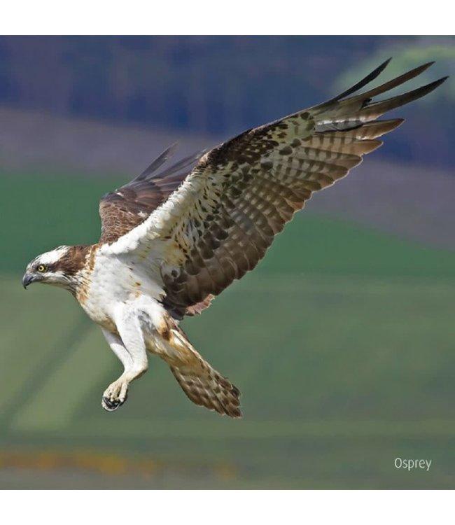 Really Wild Cards   Wenskaart met Geluid    Birds   Visarend