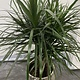 Plant groen Dracaena groot
