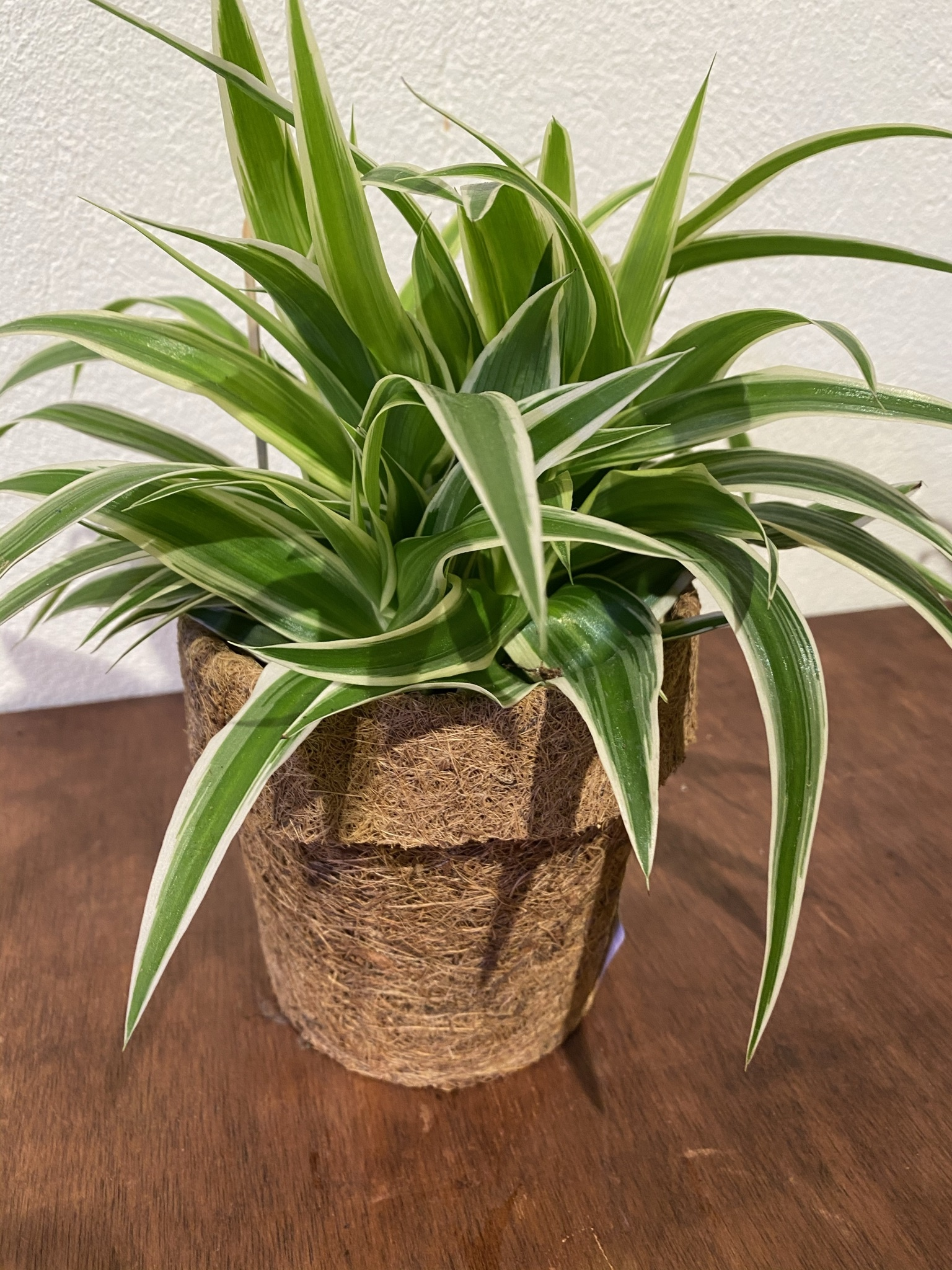 Plant in kokopot