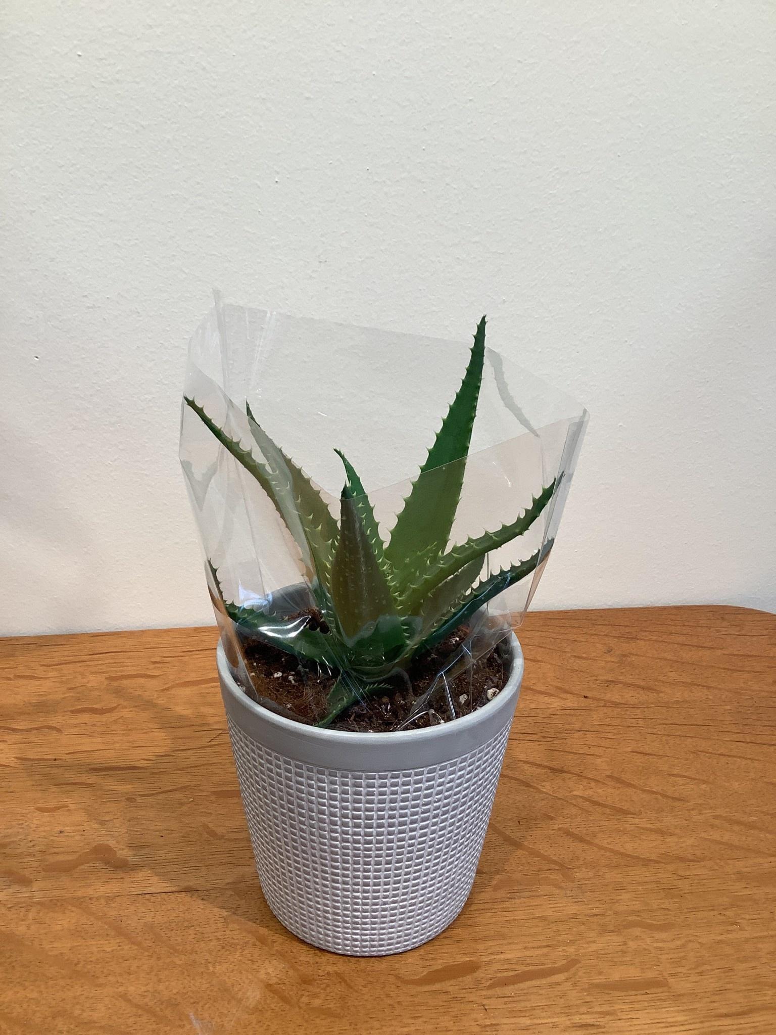 Aloe arborescens mèt pot Clay Pure Collection