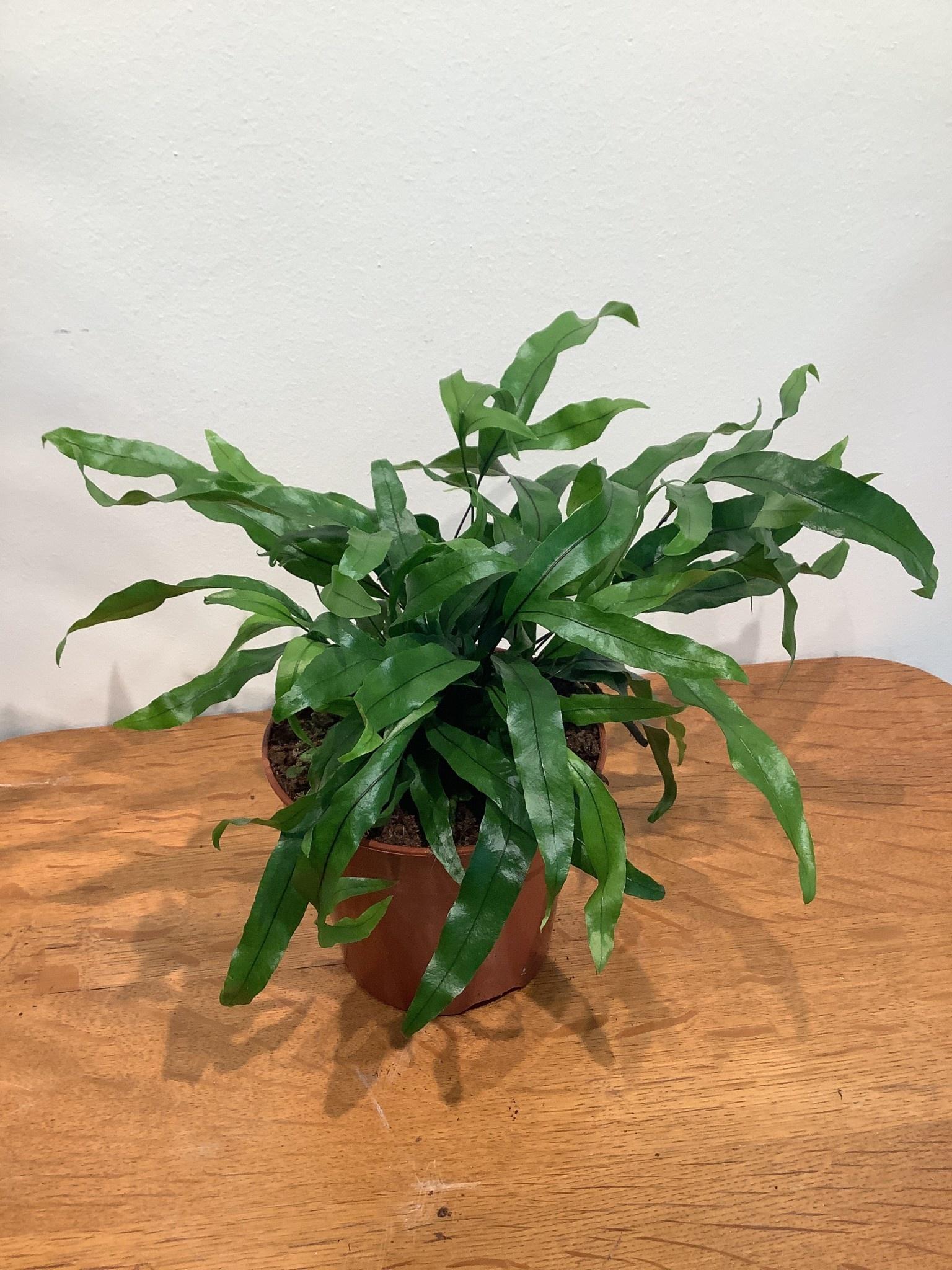 Microsorum diversifolium   klein
