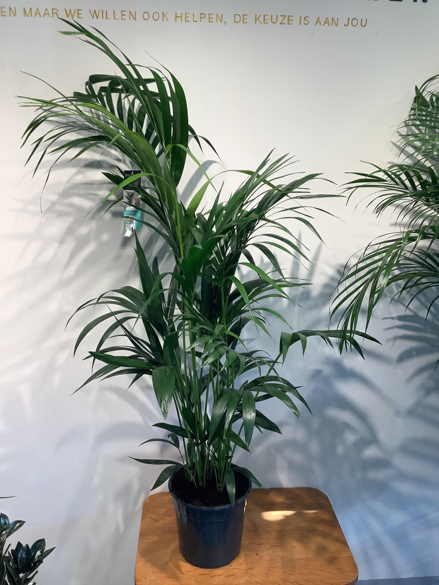Kentia (Howea forsteriana) van 150 cm