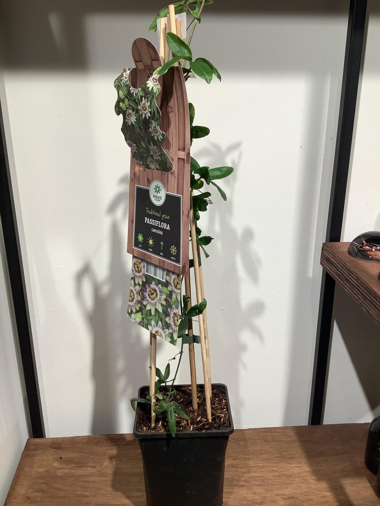 Passiflora caerulea     hoogte 75 cm