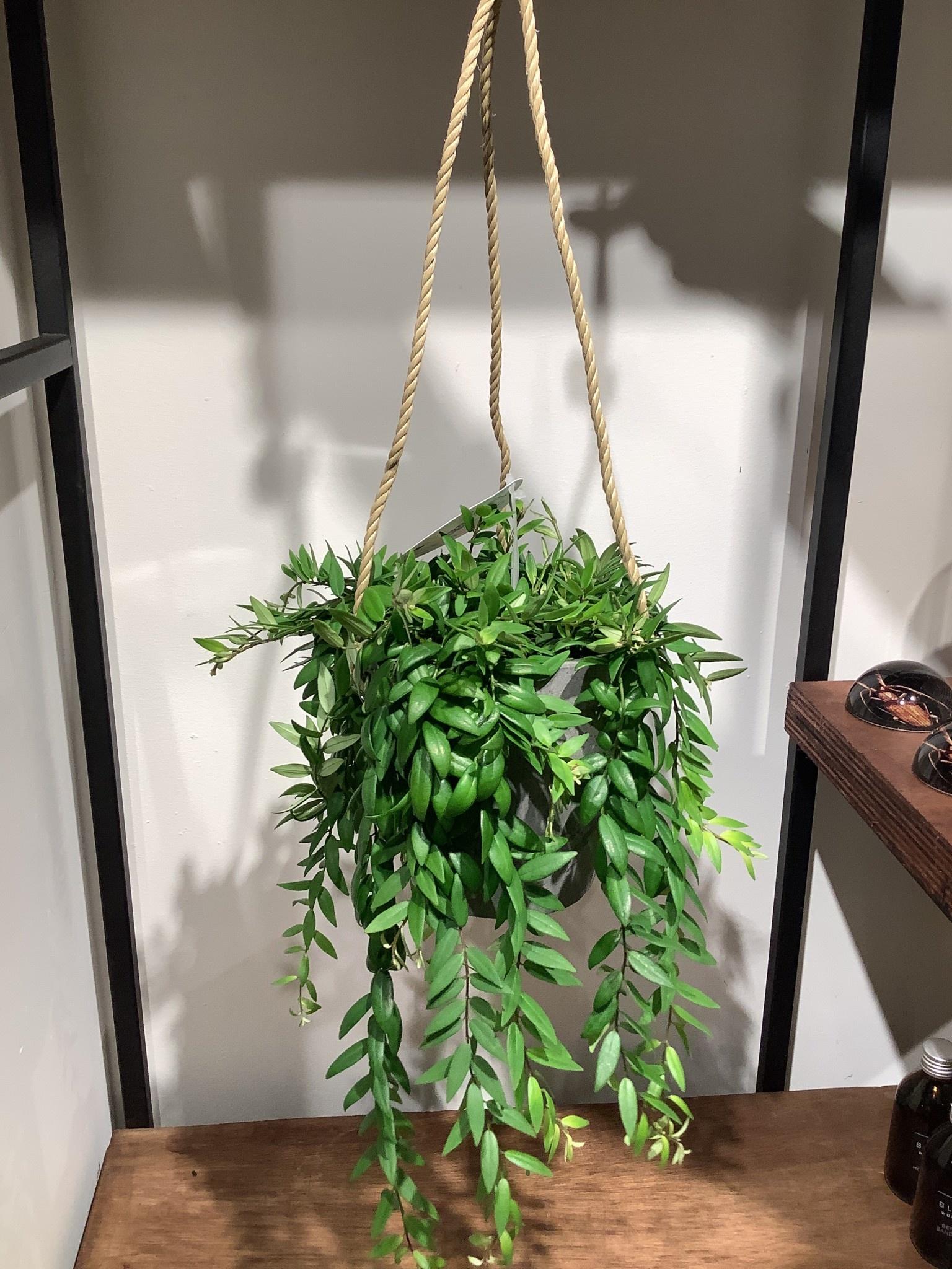 Aeschynanthus Japhrolepis hangplant inclusief pot