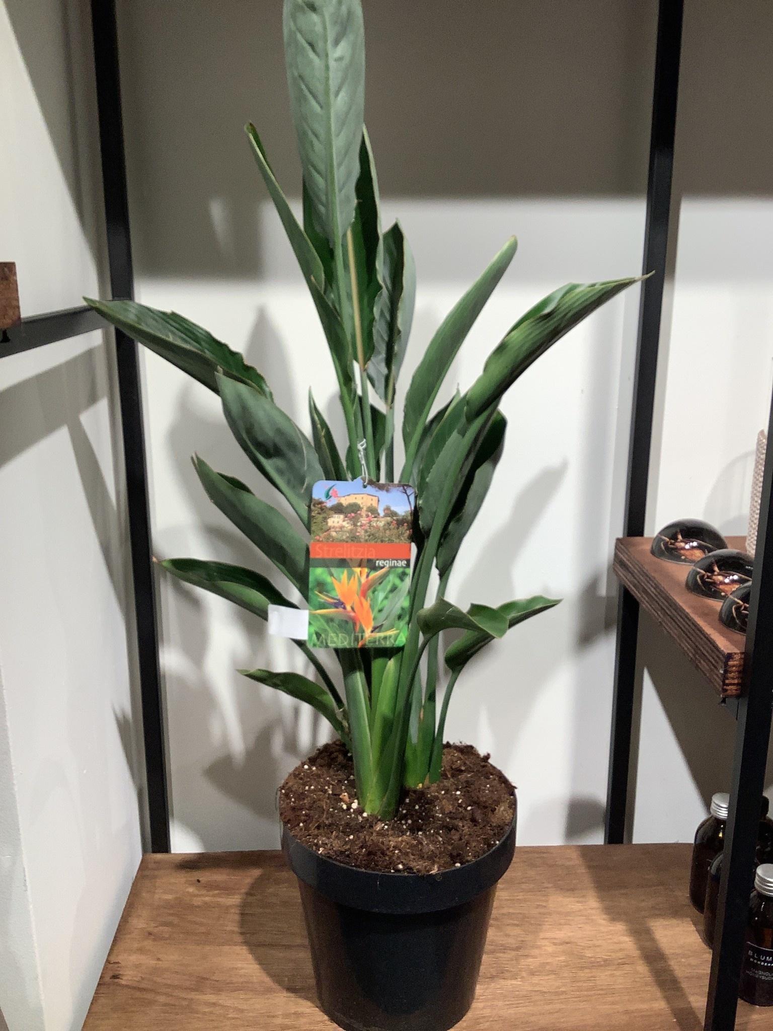 Strelitzia reginae    hoogte 90 cm