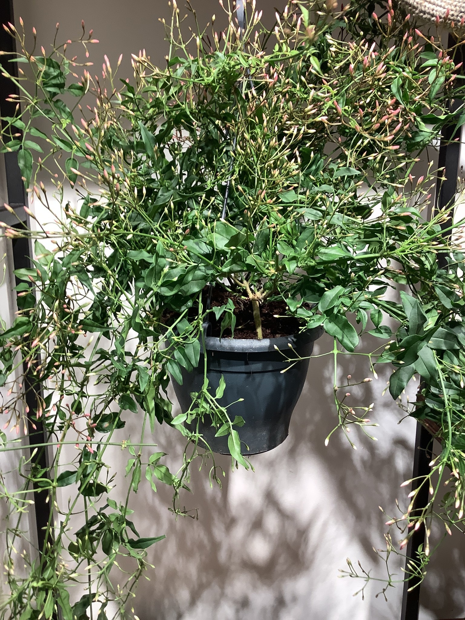 Jasminum polyanthum 400 hangplant wit