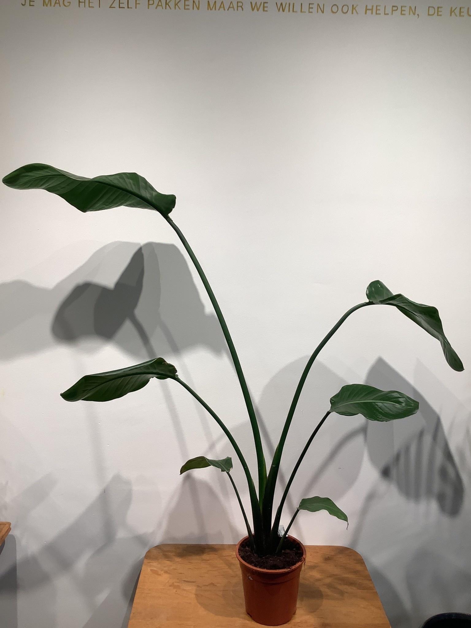 Strelitzia nicolai     hoogte 100 cm