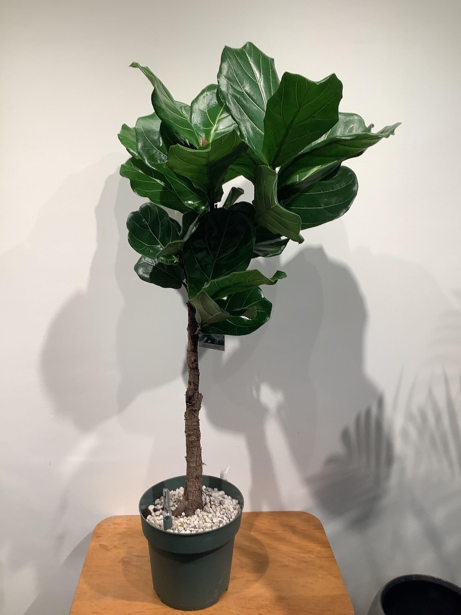 Ficus lyrata  met  hydro systeem 140 cm hoog
