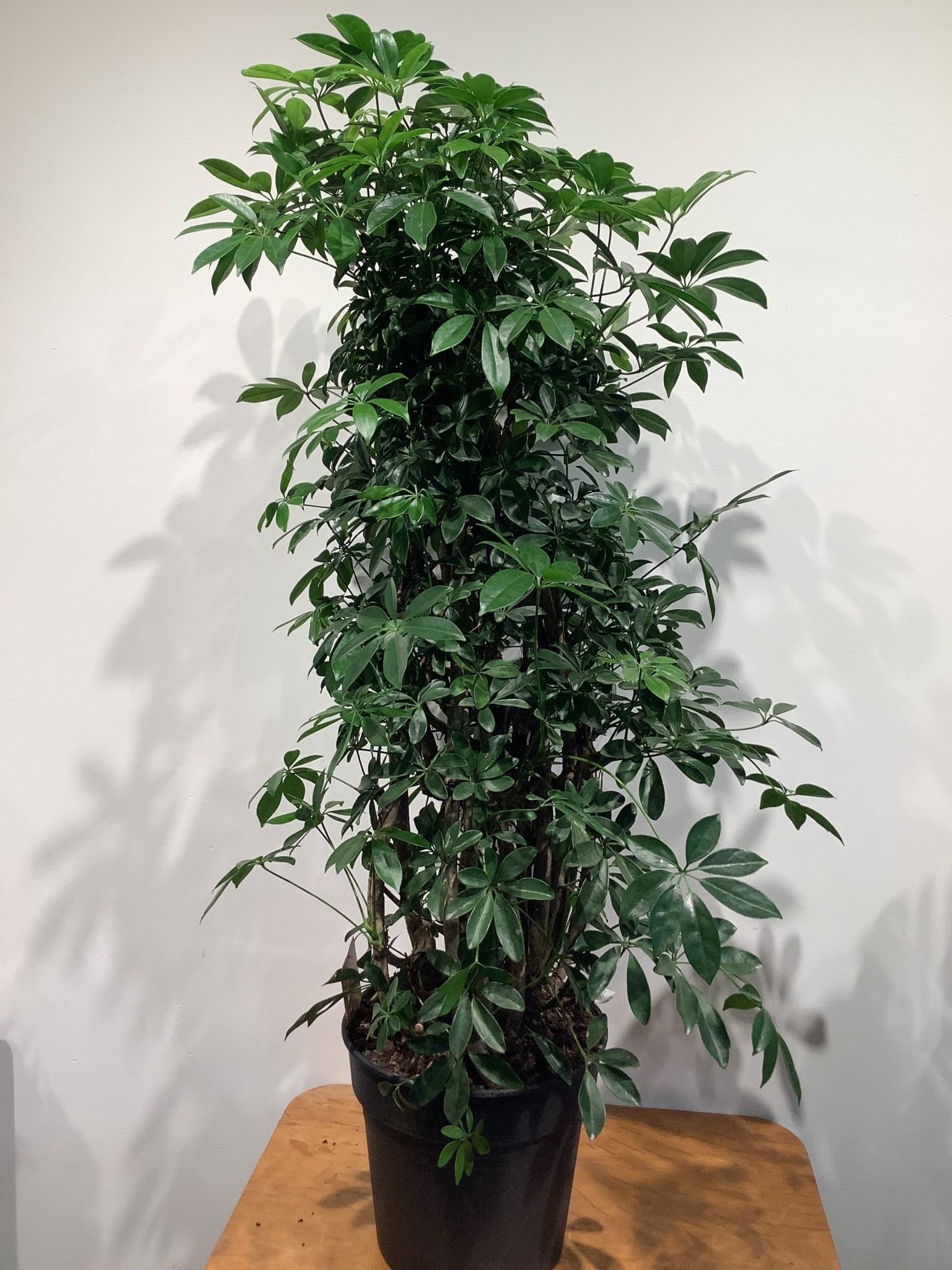 Schefflera arb. Compacta     hoogte 140 cm