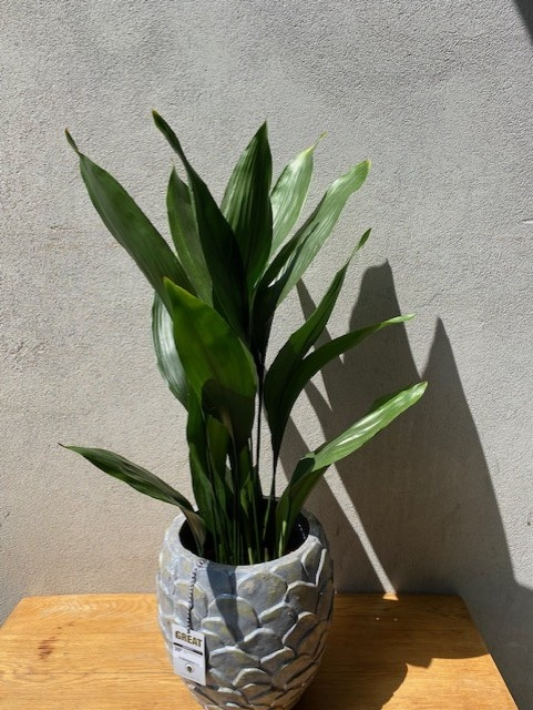 Aspidistra elatior pot diameter 21 cm, hoogte 95 cm