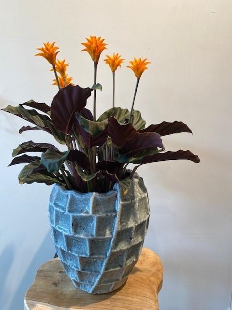 Calathea crocata 'Tassmania'  5-6 Bloemen, pot. 14cm  20x50 cm