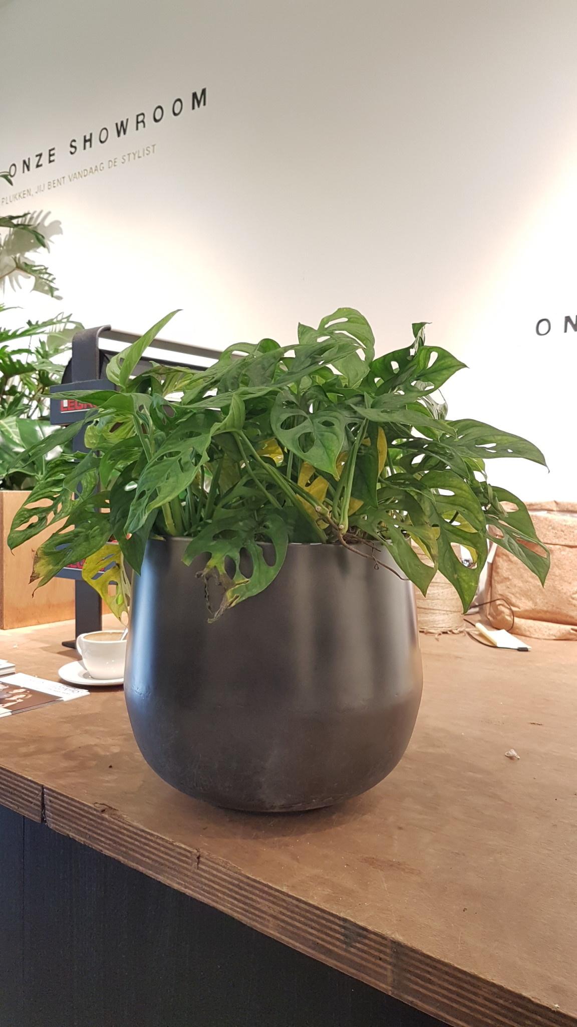 Monstera obliqua hanger pot 22/19 cm