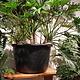 Philodendron Xanadu bush pot 52 cm