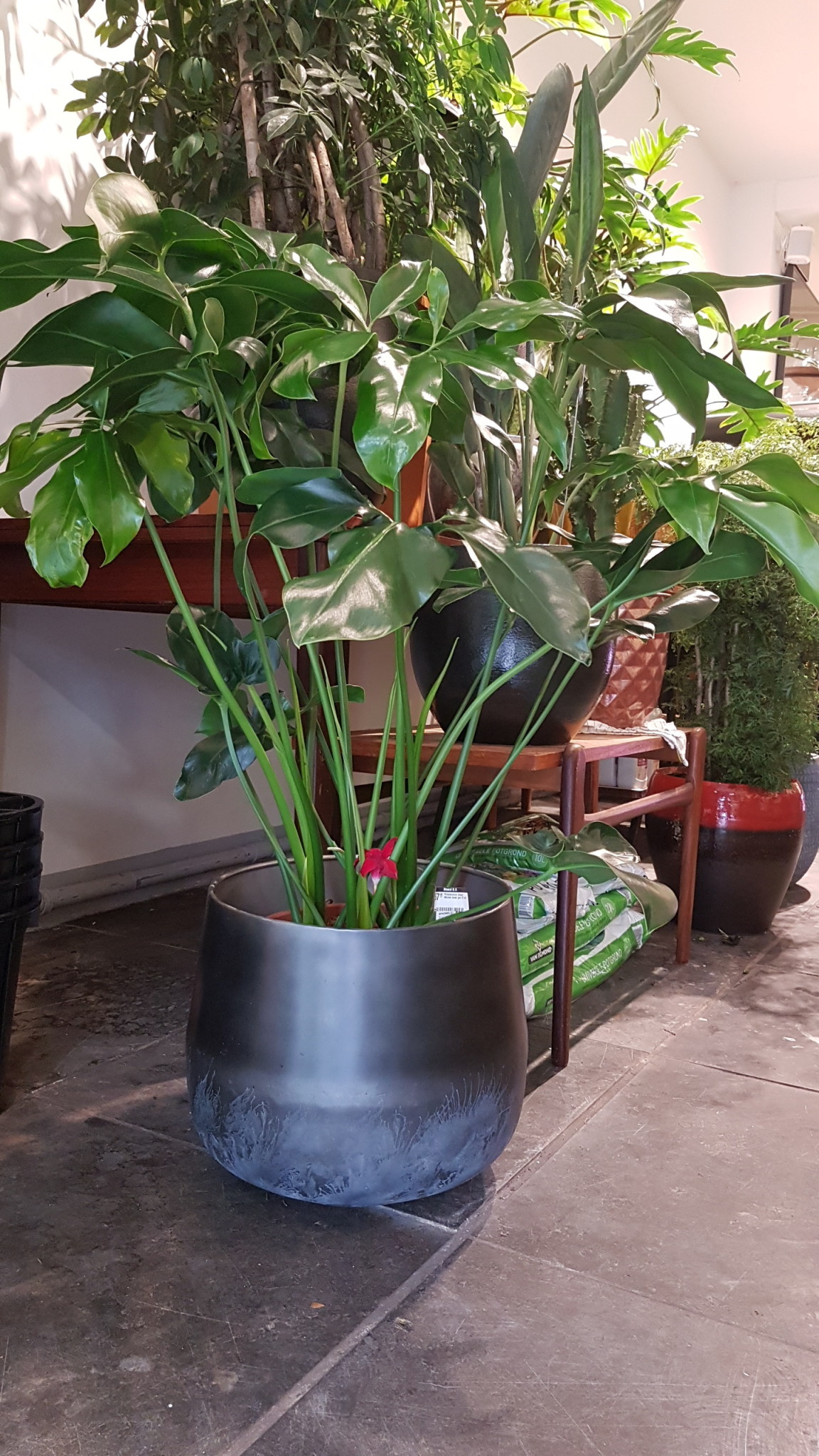 Philodendron Green Wonder bush pot 27 cm