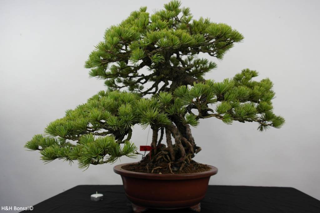 bonsai m dchenkiefer pinus parviflora nr 5894 www. Black Bedroom Furniture Sets. Home Design Ideas