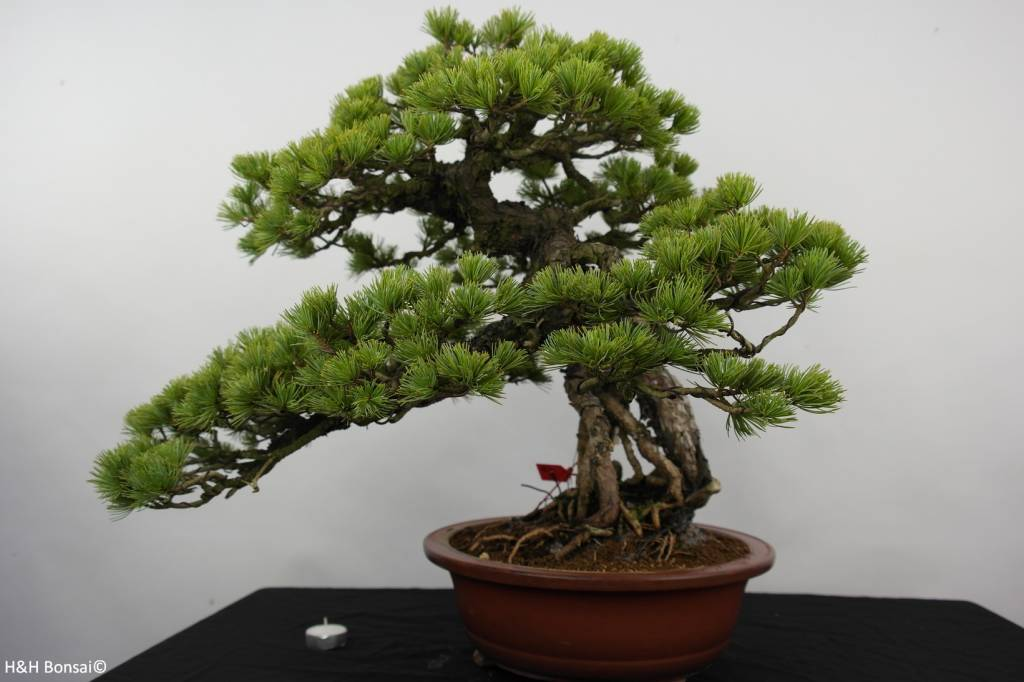 Bonsai Pinus parviflora, Japanse witte den, nr. 5894
