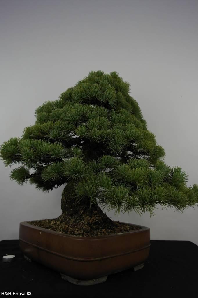 Bonsai White pine, Pinus parviflora, no. 5895