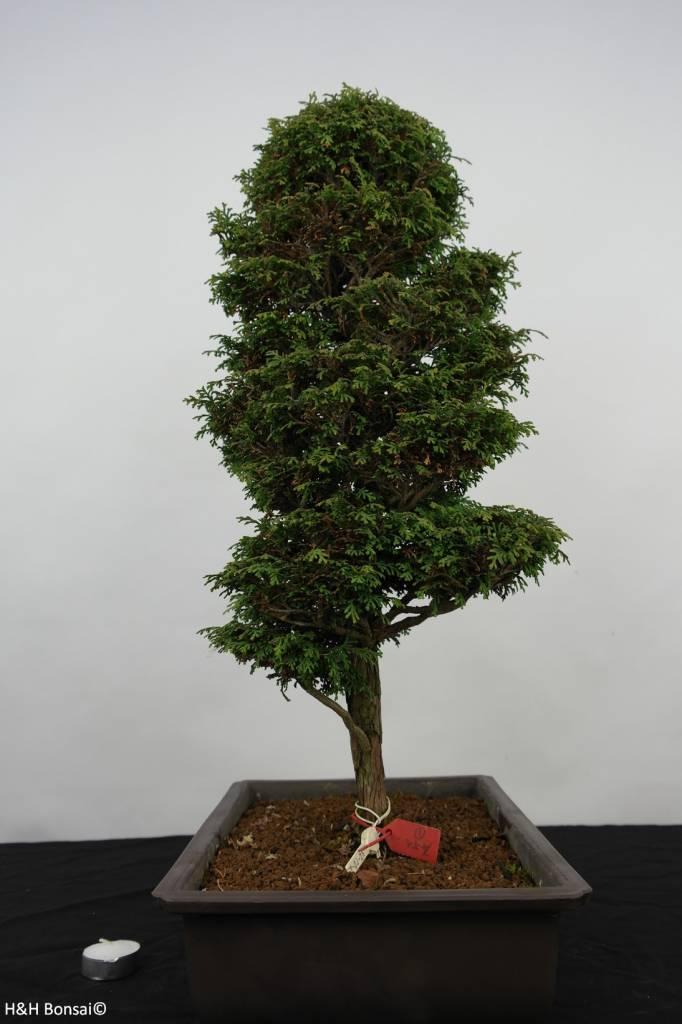Bonsai Chamaecyparis sp. , Cipres, nr. 5897