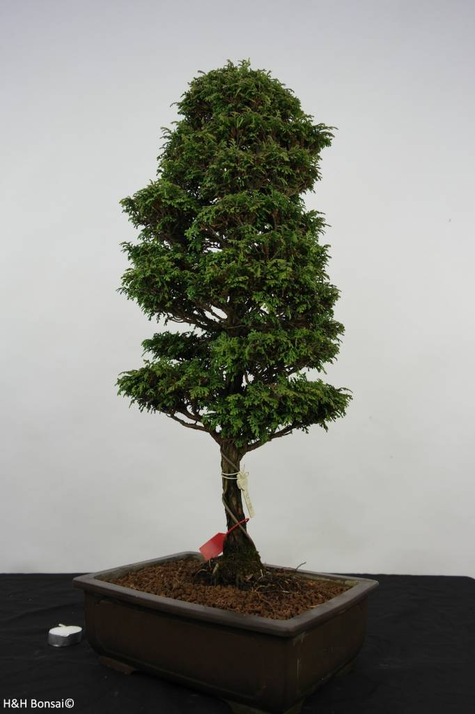 Bonsai Chamaecyparis sp. , Cipres, nr. 5898
