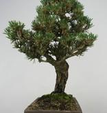 Bonsai Pinus thunbergii kotobuki, Japanse Zwarte den, nr. 5908