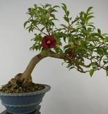 Bonsai Kamelie, Camellia japonica, nr. 6020