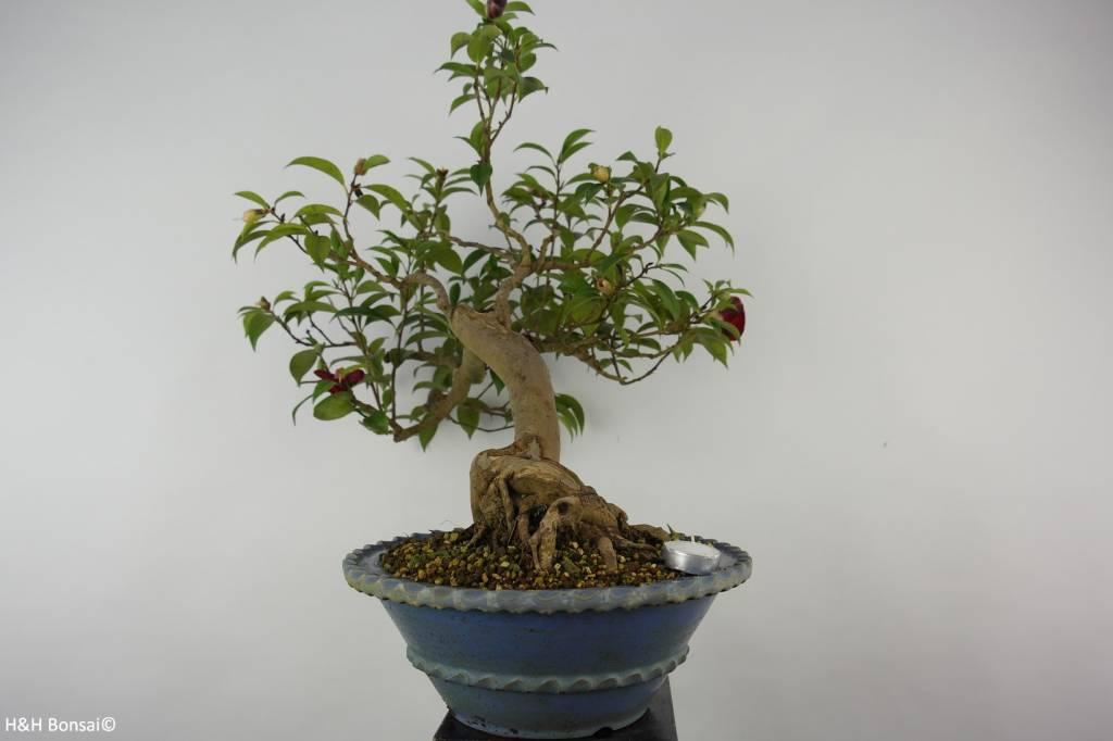 Bonsai Camellia japonica, Japanse roos, nr. 6020