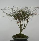 Bonsai Nandina sp., nr. 6145