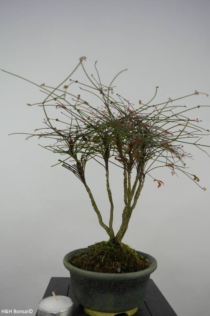 Bonsai Nandina sp., no. 6145