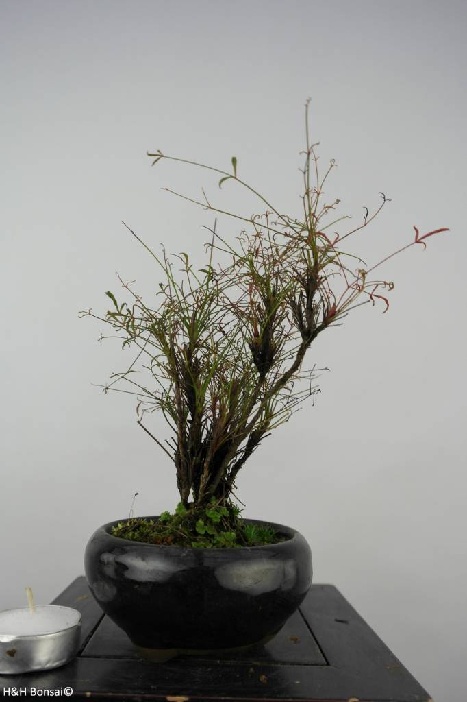 Bonsai Shohin Nandina sp., nr. 6148
