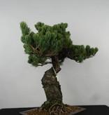 Bonsai Pinus parviflora, Japanse witte den, nr. 6156