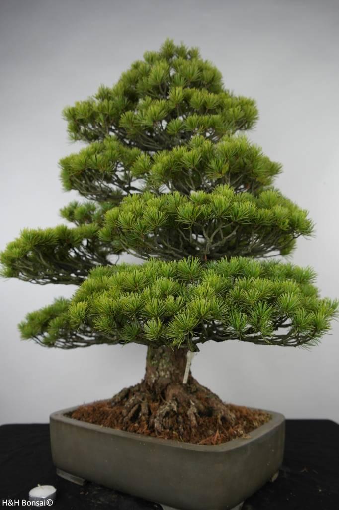 Bonsai Pinus parviflora, Japanse witte den, nr. 6176