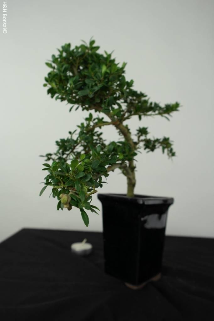 Bonsai Ilex crenata, Japanse hulst, nr. 6387
