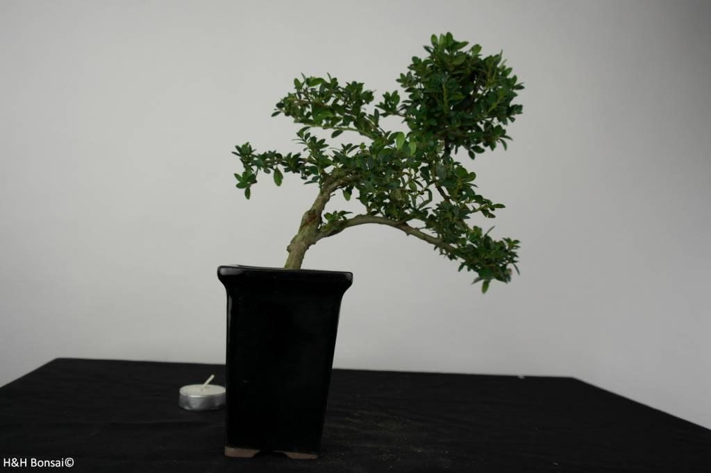 Bonsai Japanische Stechpalme, Ilex crenata, nr. 6387