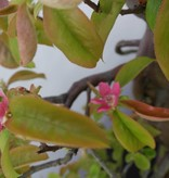 Bonsai Quince, Cydonia oblonga, no. 5570