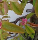 Bonsai Quitte, Cydonia oblonga, nr. 5570