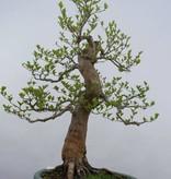 Bonsai Japanese snowbell, Styrax japonicus, no. 5804