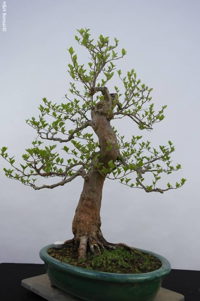 Bonsai Styrax japonicus, no. 5804