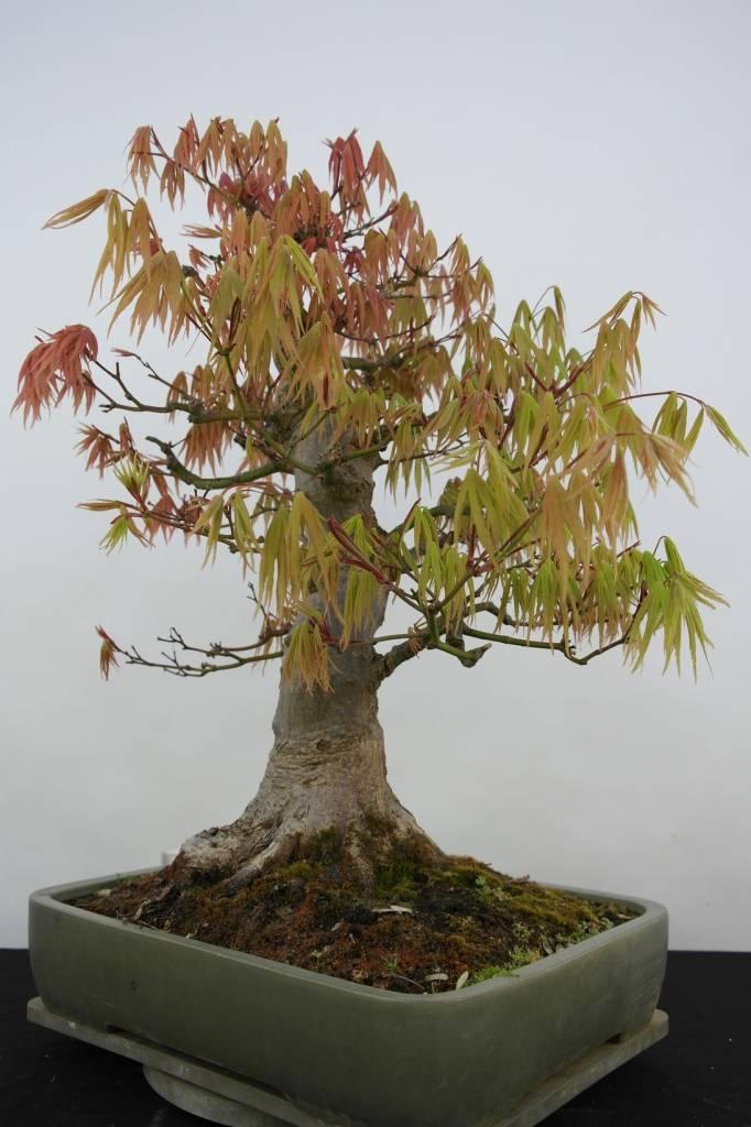 Bonsai Jap. Fächerahorn, Acer palmatum, nr. 5805