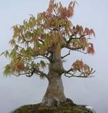Bonsai Acer palmatum, Japanse esdoorn, nr. 5805