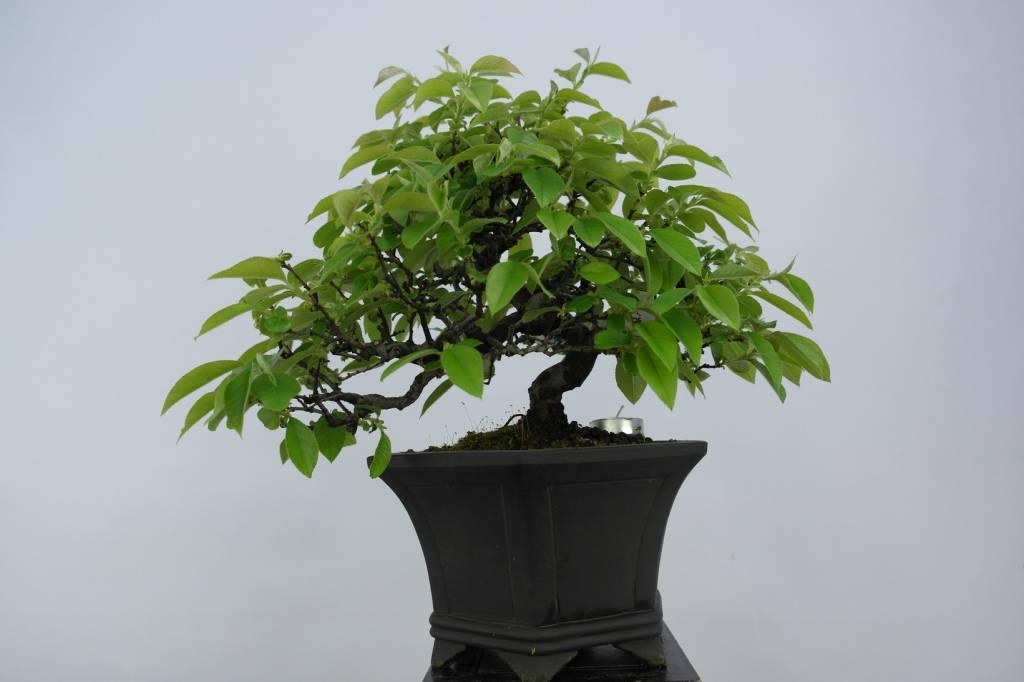 Bonsai Quitte, Cydonia oblonga, nr. 5661