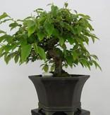 Bonsai Quitte, Cydonia oblonga, nr. 5662